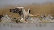 Greylag Goose (Anser Anser), Gander, Dispute, Aggressive Behaviour, Kiskunsag National Park, Hungary, Europe