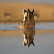 Greylag Goose Drinking Water I...
