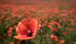 Roter Mohn auf einem Mohnblumenfeld