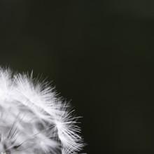 Dandelion On The Dark Background