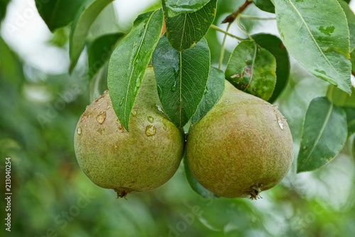two wet green pears on the flow with leaves