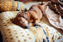 Funny Little Dog, The Dachshund Is Sleeping Sweetly