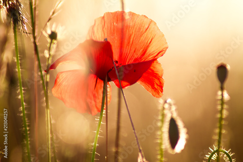 macro-photo-against-backlight-of-red-flower-at-sunset