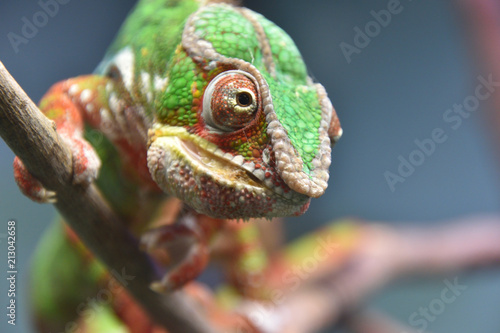 Foto op Canvas Kameleon カメレオン