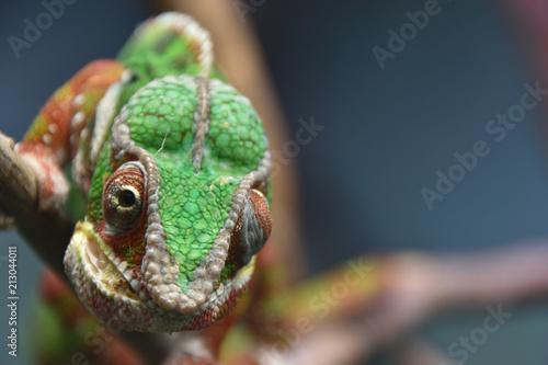 Staande foto Kameleon カメレオン