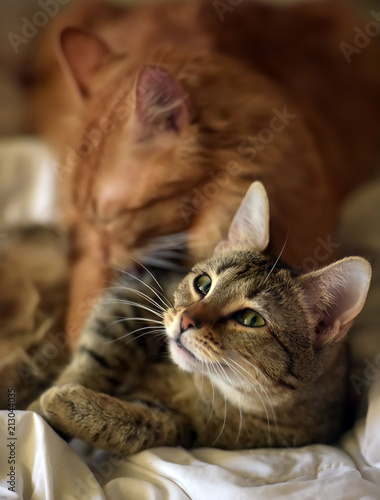Foto op Aluminium Kat Friendship of the two cats