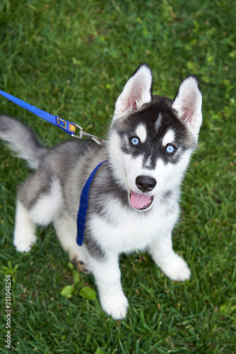 Puppy Siberian Husky Black And White With Blue Eyes Outdoors On Green Field Buy This Stock Photo And Explore Similar Images At Adobe Stock Adobe Stock