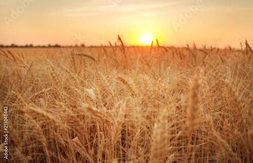 Foto auf Gartenposter Landschappen Wheat field ripe grains and stems on background of sunset sky