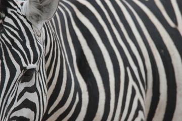 Ansichten eines Zebras