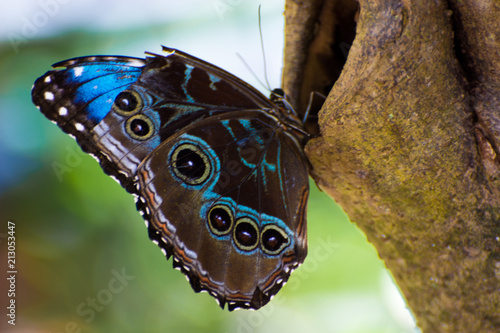Blue Morpho Butterfly Fototapet