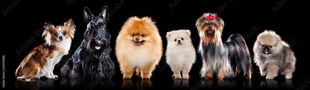 Miniature breeds of dogs in a black studio