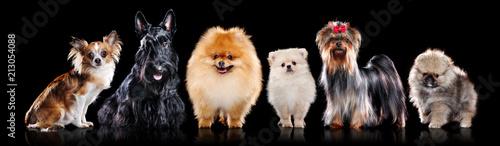 Cuadros en Lienzo Miniature breeds of dogs in a black studio