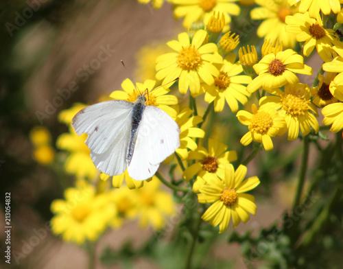 Papiers peints Nature Gele bloemen en witte vlinder