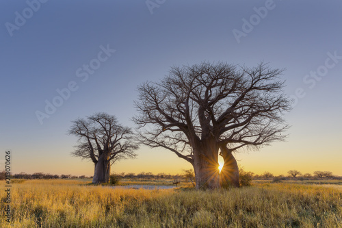 Valokuvatapetti Sun starburst at sunrise in baobab tree