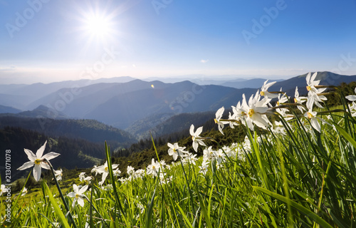 Landscape with beautiful daffodils in the green grass. High mountains in haze on the horizon. Summer day. Location the Carpathian Mountains, Ukraine, Europe, Marmarosy.