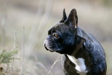 French Bulldog Sitting On Gras...