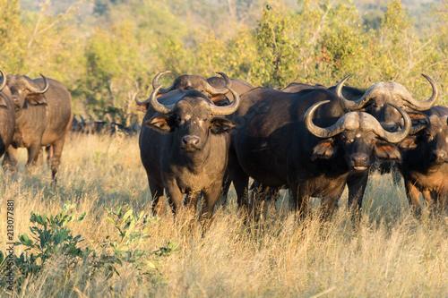 Staande foto Buffel Buffalos on Kruger NP, South Africa