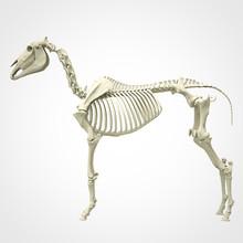 Horse Skeleton Anatomy - Isola...