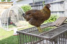 Chicken Standing On Wooden Cra...