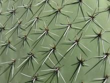 Pokey Cactus