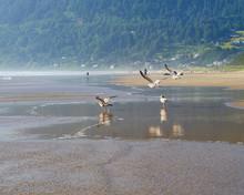 Seagulls On The Beach, Manzanita, Oregon