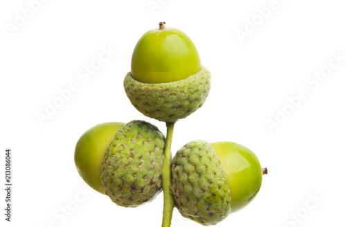 green acorns isolated