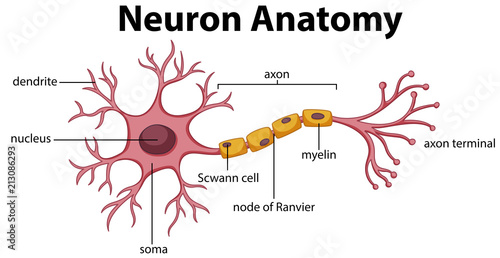 Photo sur Aluminium Jeunes enfants Diagram of Neuron Anatomy