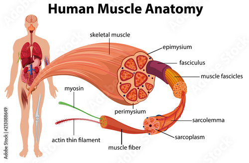 Canvas Prints Kids Human Muscle Anatomy Diagram