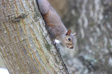 A Squirrel Climbing On A Tree