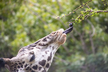 Giraffe Eating From Branch Clo...