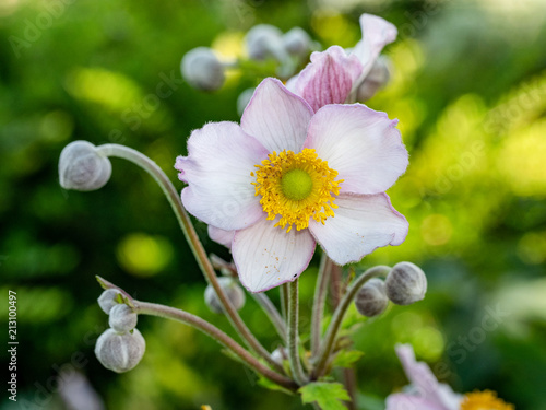 Close up photo of Japanese anemone (Anemone hupehensis) flower Canvas Print