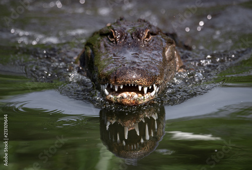 Deurstickers Krokodil Alligator in Florida