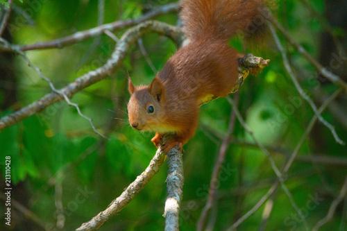 Fotobehang Eekhoorn Squirrel