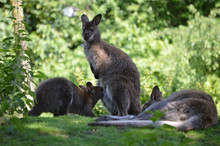 Red-necked Wallabies, Mother F...