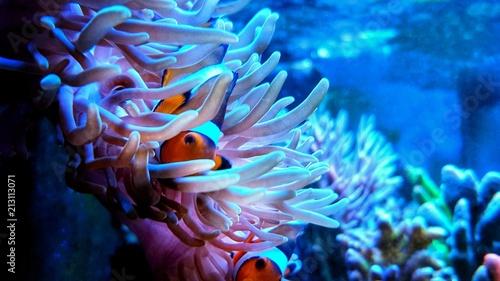 Fényképezés Clown anemone fish in magnifica anemone