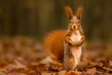 Cute Squirrel In Autumn Colore...