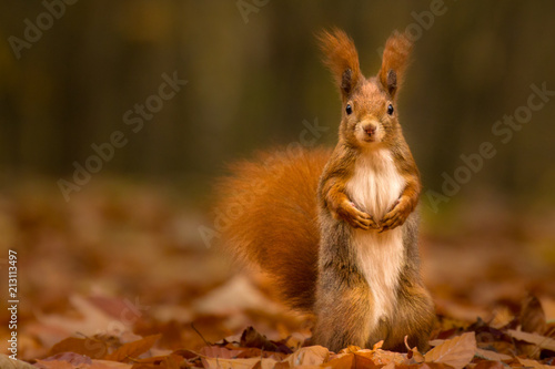 Staande foto Eekhoorn Cute squirrel in autumn colored forest. Beautiful, fast and clever animal.