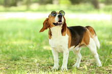 Beagle Dog With Sunglasses Standing In The Park