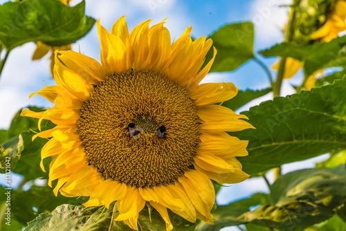 Keuken foto achterwand Zonnebloem Bienen beim Bestäuben einer Sonnenblume