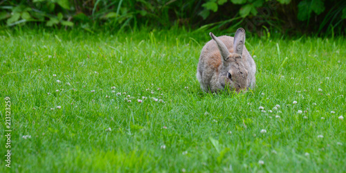 Zdjęcie XXL Cottontail Rabbit Munches Grass, Olympic Peninsula, Washington, USA