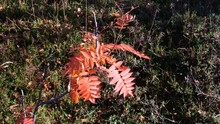 Autumn. Red Pinnate Leaves Of ...