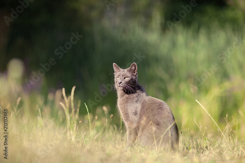 cute adult grey cat with beautiful green eyes sitting in a green meadow, outdoor Fototapet