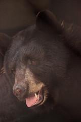 Black bear Ursus americanus relaxes in its cave