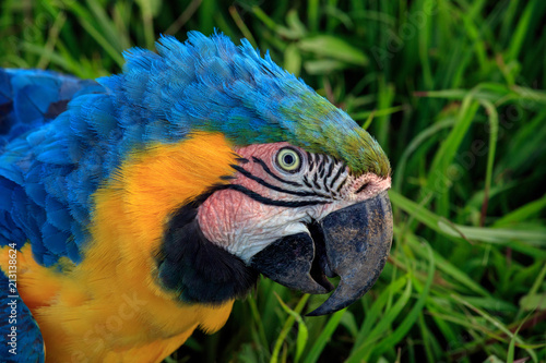 Parrot Portrait Photograph, Side View, Highly Detailed Feathers - Parrot is looking towards the camera with eyes wide open and a curious expression, Colorful Yelow and Blue Feathers