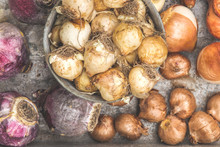 A Variety Of Fall Bulbs To Be Planed