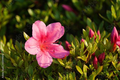 Close-up of azaleas flower ツツジの花のクローズアップ