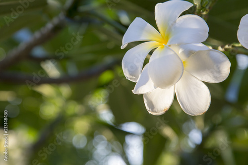 Staande foto Frangipani White plumeria flowers on a beautiful tree. And space to type in the text.