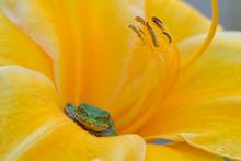 A Tiny Green Tree Frog Tucked ...