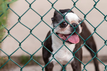 A Happy Boston Terrier Behind A Chain Link Fence