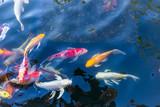 Fototapeta Do akwarium - Koi fish in pond